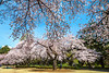 Sakura cherry blossoms in the Shinjuku Gyoen National Gardens in Tokyo, Japan, Asia.