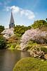 Sakura cherry blossoms around the lake in the Shinjuku Gyoen National Gardens in Tokyo, Japan, Asia.