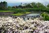Goryokaku Park over-looking bridge with Azaleas in bloom