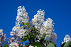 White Lilac Blossoms in Hakodate