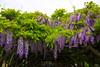 Goryokaku Park trellis full of fragrant Wisteria Blossoms