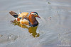 Mandarin Duck (M) in pond on grounds of Hirosaki Castle