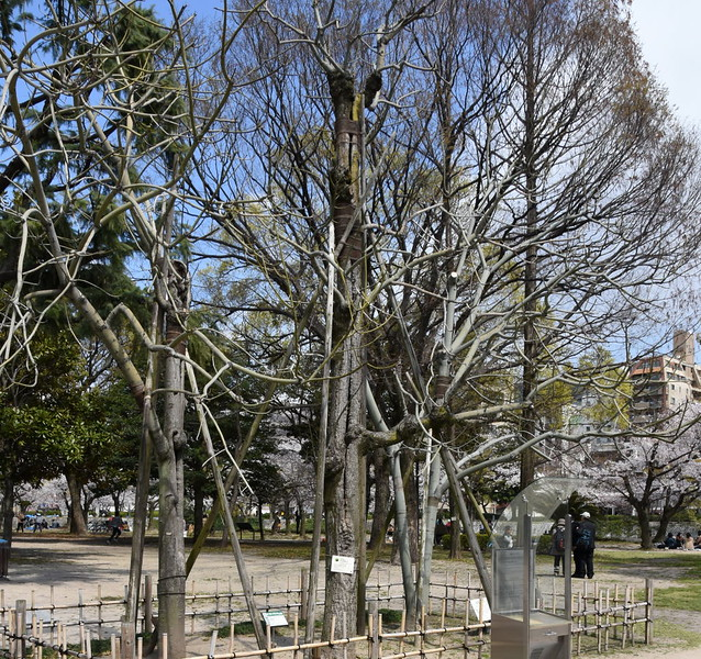 Atomic tree, Peace Memorial Park, Hiroshima, Mon 1 April 2019 2.