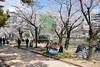 Cherry blossom, Peace Memorial Park, Hiroshima, Mon 1 April 2019.