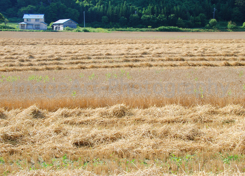 A field of wheat at harvest time