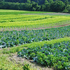 Vegetable crops in a field
