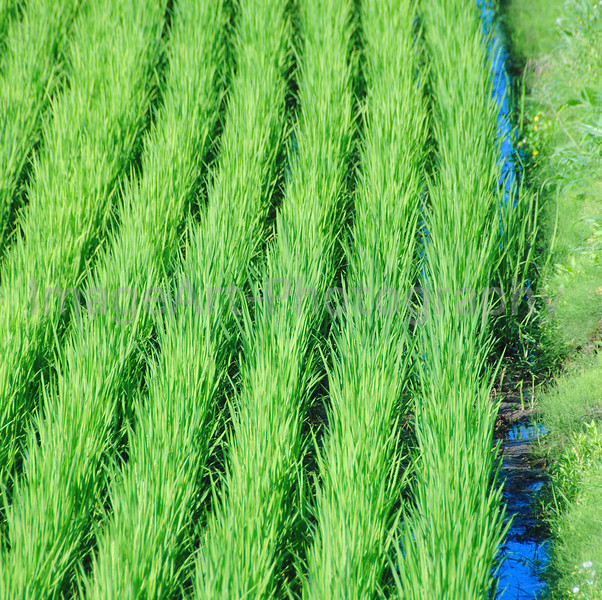 Blue sky reflected in the water of a paddy field
