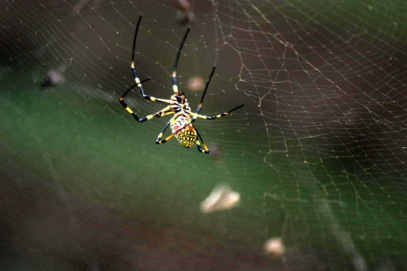 Photo By Bob Bodnar............................Japanese Spider,  and they are everywhere and Big