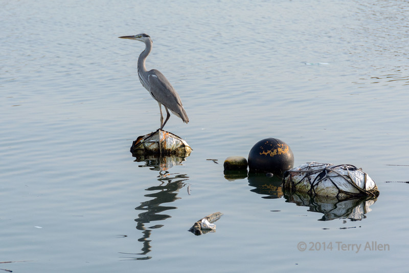 Grey heron on fishing floats<br /> <br /> The harbour at Nauto had many grey herons (Ardea cinerea) sitting on the boats and the floats, probably waiting for handouts.