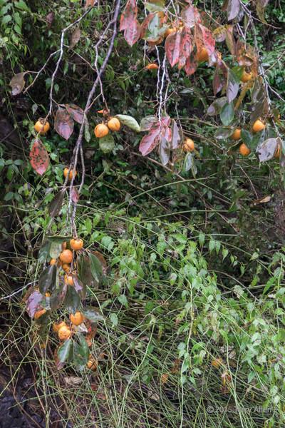 Ripe persimmons growing wild near the green tea fields, Shizuoka, Japan