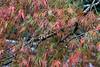 Japanese maple in the fall with raindrops, near the green tea fields, Shizuoka, Japan