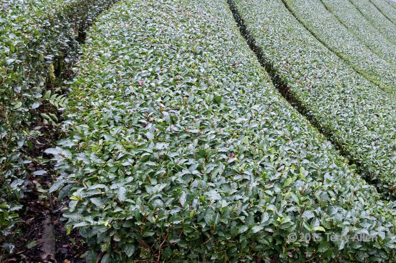 Close-up of a green tea field in the rain, Shizuoka, Japan