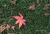 Red maple leaf and cypress needles lying on a thick bed of moss, Koinzan Saiho-ji (Kokedera) temple, Kyoto, Japan
