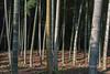 Bamboo with fallen leaves, Saiho-ji, Kyoto, Japan