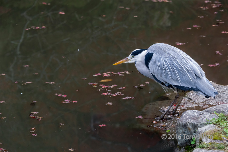 Japanese grey heron (Ardea cinerea), with red maple leaves and reflections, Kiyomizudera, Kyoto, Japan