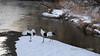 Family of cranes on the Setsuri River, Tsurui Village, Hokkaido, Japan