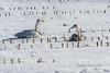 Whooper swan and juvenile in corn stubble, near Tsurui Village, Hokkaido, Japan