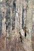 Ural-owl