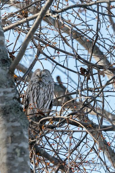 Sleeping Ural owl