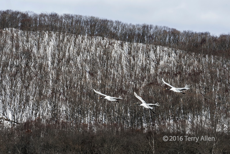 Red-crowned cranes flying over the woods of Hokkaido, Japan