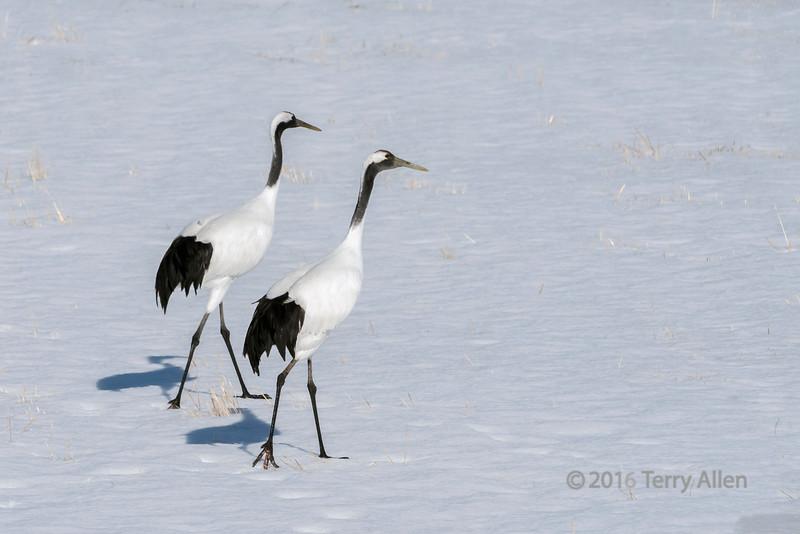 Pair of red crown cranes walking over a field of snow, Tsurui Village, Hokkaido, Japan