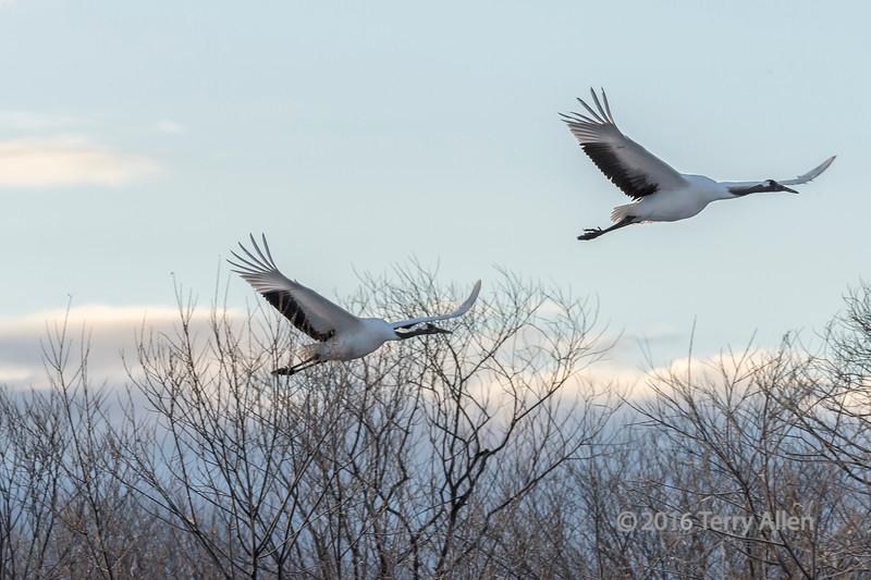 Cranes fly through bare branch trees, Setsuri River, Hokkaido, Japan