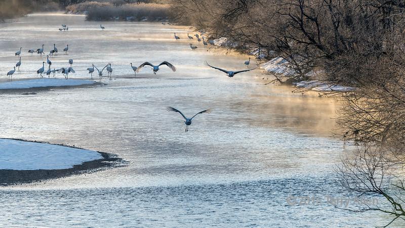 Cranes fly above the Setsuri River at sunrise, Otowabashi, Hokkaido, Japan