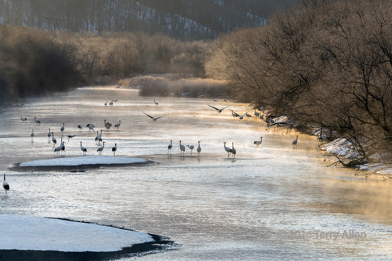 Red crowned cranes leaving the Setsuri River at sunrise to feed in the local fields, Hokkaido, Japan