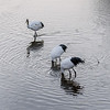 Red crowned crane family foraging at sunrise with reflections and ripples, Setsuri River, Otowabashi, Hokkaido, Japan
