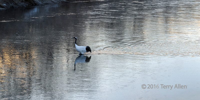 Moving towards the light; red crowned crane on the Setsuri River at sunrise, Hokkaido, Japan