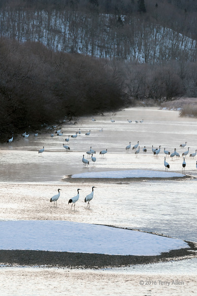 Cranes at sunrise on the Setsuri River, Otowabashi, Hokkaido, Japan