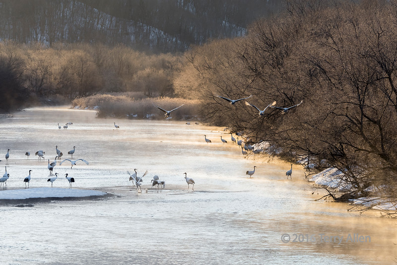 Cranes lifting off from the Setsuri River at sunrise to feed in the local fields, Hokkaido, Japan