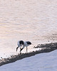 Juvenile red crowned crane trying to steal prawn from adult, Otowabashi, Hokkaido, Japan