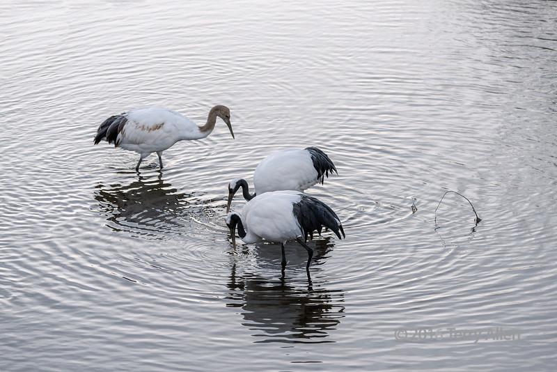 Family of red corwned cranes foraging in the Setsuri River, Otowabashi, Hokkaido, Japan
