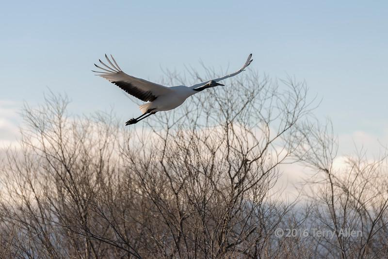 Red crowned crane flying though the riverside trees at sunrise, Setsuri River, Otowabashi, Hokkaido, Japan