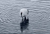 Red crowned crane fishing, ripples within ripples, Setsuri River, Hokkaido, Japan