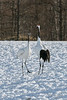 Face to face, red-crowned cranes, Tsurui Ito Tancho Crane Sanctuary, Hokkaido, Japan