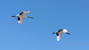 Adult and juvenile crane against the blue sky, Tsurui, Hokkaido, Japan