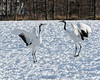 Pas de deux 2, red-crowned cranes dancing at Tsurui Ito Tancho Crane Sanctuary, Hokkaido, Japan