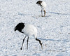 Red-crowned crane with leg band, Tsurui Ito Tancho Crane Sanctuary, Hokkaido, Japan