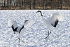 Dancing cranes, Tsurui Village, Hokkaido, Japan
