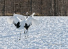 En face dance move, red-crowned cranes, Tsurui Ito Tancho Crane Sanctuary, Hokkaido, Japan