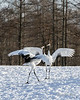 Red-crowned crane ballet dance, Tsurui Ito Tancho Crane Sanctuary, Hokkaido, Japan