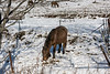 Horses searching throught new snow for dried grasses, near Tsurui Village, Hokkaido, Japan