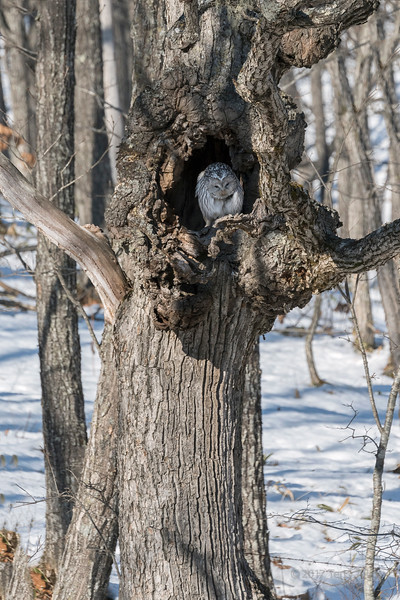 Ural owl perched in a tree cavity, near Tsurui Village, Hokkaido, Japan