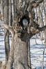 Ural owl perched in a tree cavity, near Tsurui Village, Hokkaido, Japan
