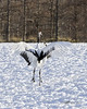 Dance move, red-crowned cranes dancing at Tsurui Ito Tancho Crane Sanctuary, Hokkaido, Japan