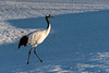 Red-crowned crane catching the late day sun, Tsurui Ito Tancho Crane Sanctuary, Hokkaido, Japan