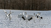 Dancing it up, red-crowned cranes at Tsurui Ito Tancho Crane Sanctuary, Hokkaido, Japan