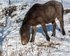Horse eating dried grass from under a layer of fresh snow, near Tsurui Village, Hokkaido, Japan